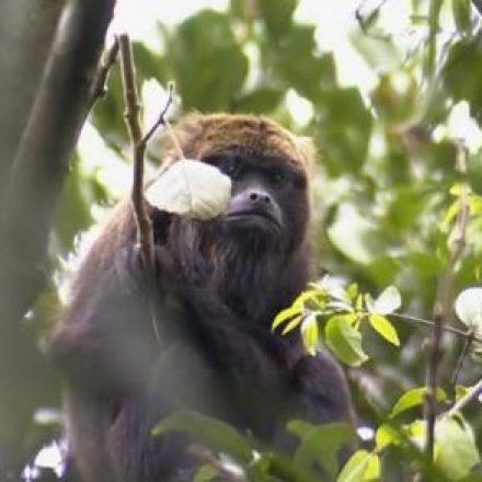 Prefeitura de Mairiporã confirma morte de 22 macacos por febre amarela