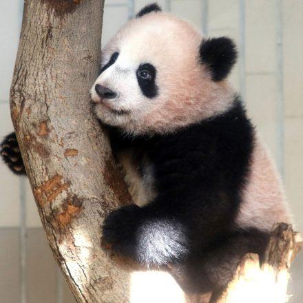Bebê panda Xiang Xiang é apresentada no Japão