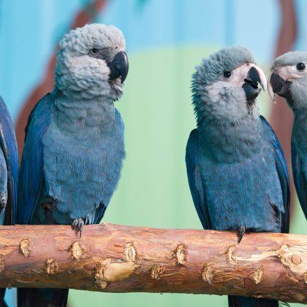 Acordo trará 50 ararinhas-azuis ao Brasil