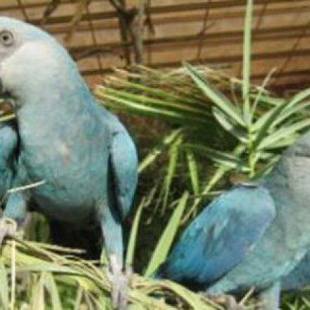Ararinha-azul está provavelmente extinta da natureza, indica estudo