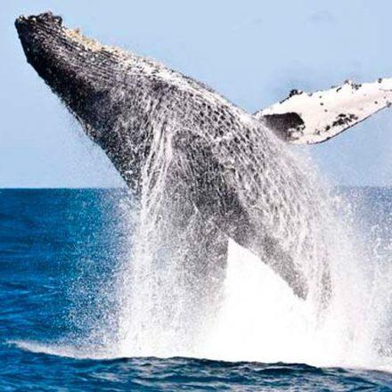 Proposta que liberava caça de baleias é derrotada em conferência