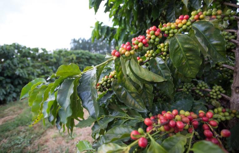 Preço do café subiu na última semana; já o milho e o açúcar cristal perderam valor