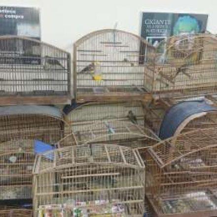 Polícia Ambiental resgata 30 aves silvestres e detém 2 indivíduos