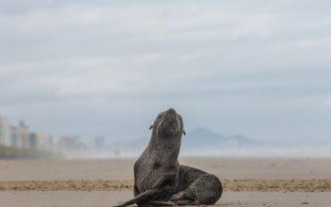 Lobo Marinho é visto 'descansando' na Praia Grande