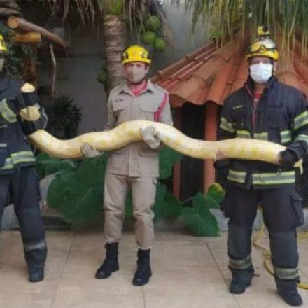 Cobra píton albina é capturada por bombeiros em Aparecida de Goiânia