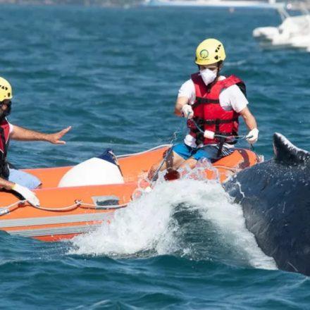 Baleia é salva após ficar presa em rede de pesca no canal de São Sebastião